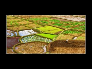 working rice paddies mantasoaf